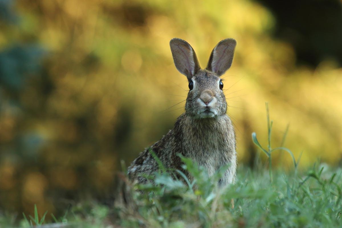 Kaninchen zur gefährdeten Art erklärt