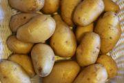 Das Vereinigte Königreich lockert die Vorschriften und erlaubt den Import von Kartoffeln aus Sa Pobla