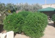 Guardia Civil beschlagnahmt Marihuana-Plantage in Campos
