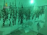 434 Marihuanapflanzen in Algaida beschlagnahmt
