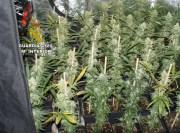 Endesa hilft bei der Suche nach Marihuana-Plantagen