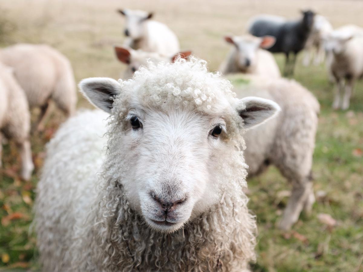Schafe und Lämmer auf Mallorca