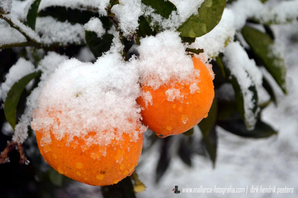 Schneebedeckte Orangen auf Mallorca