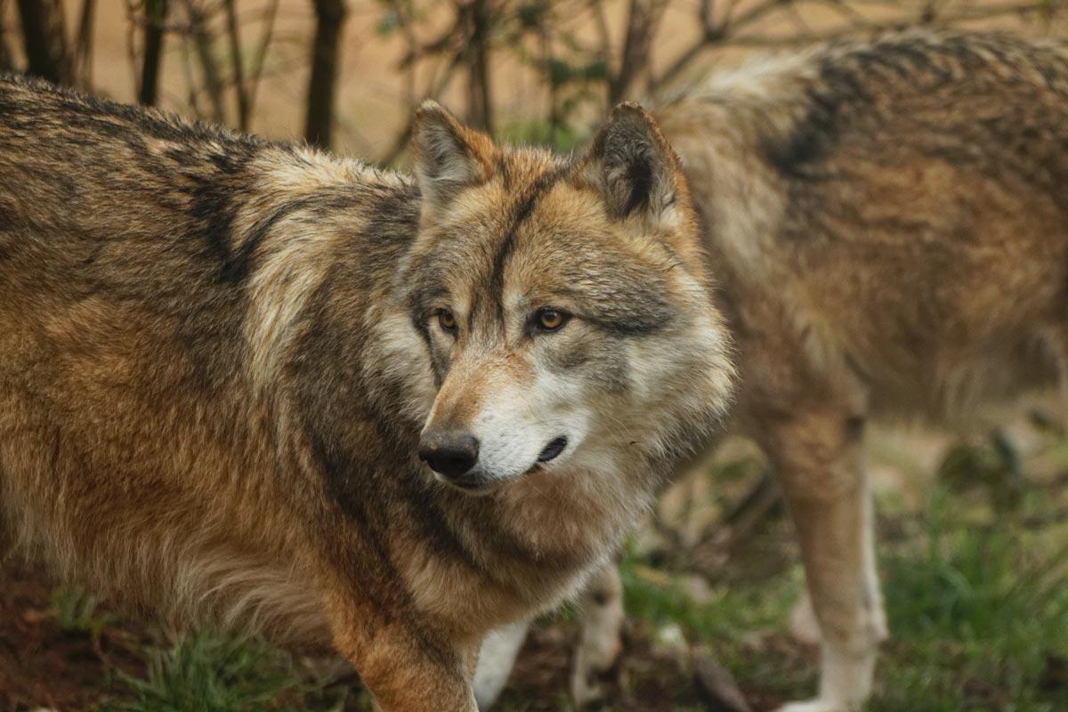Wolf in Spanien