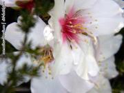 Erste Knospen der Mandelblüten