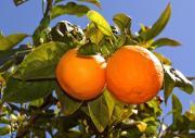 """Tonnen von Orangen """"vergammeln"""" einfach"""
