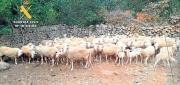 Geklaute Schafe wieder zuhause