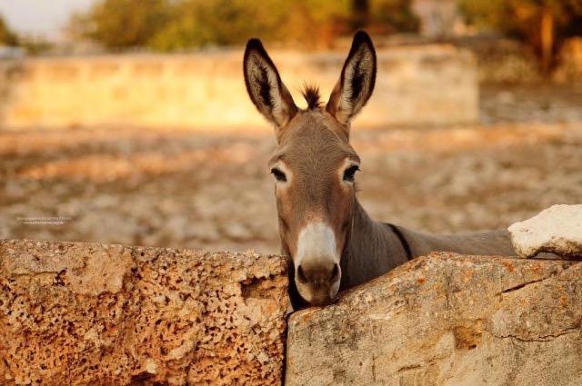 Esel Camillo sucht Zuhause auf Mallorca