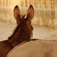 Mallorca Esel suchen ein neues Zuhause!