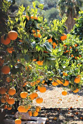 Die wunderbaren Orangen