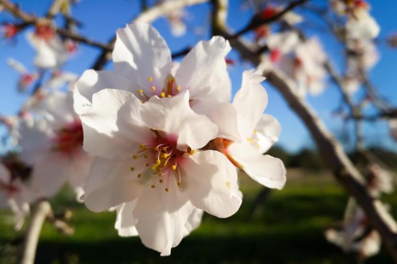 Mandelblüte auf Mallorca 2020