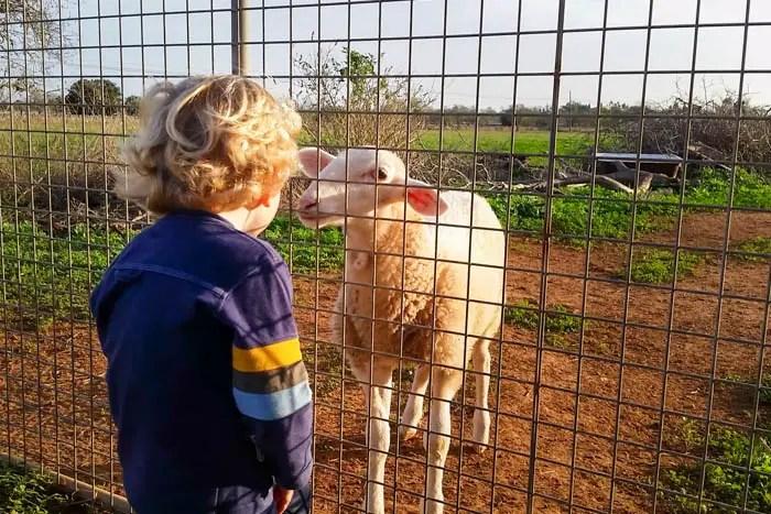 Schafe Scheren auf Mallorca im Mai