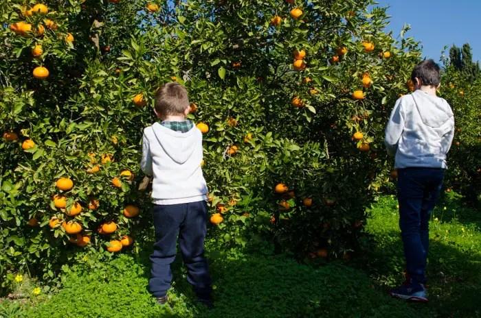 Orangen ernten mit Kindern auf Mallorca