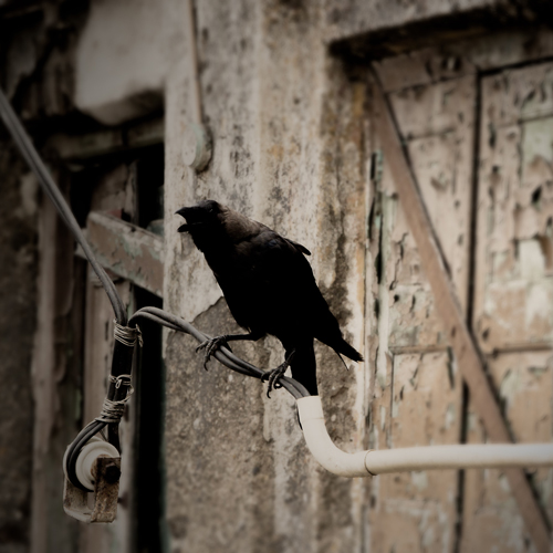A Crow on a Powerline