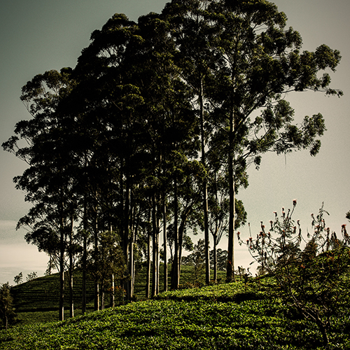 Line of Trees surrounded by tea bushes