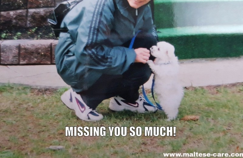 Grieving my Maltese dog
