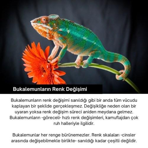 bukalemun renk değişimi