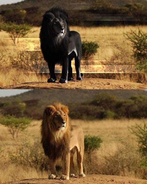 Siyah aslana ait orijinal ve montajlanmış fotoğraf