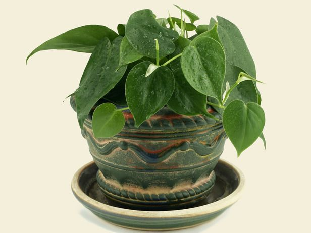 1 Philodendron Scandens Oxycardium