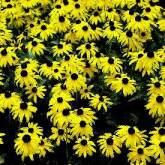 9-cornflower