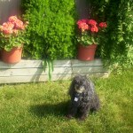 Mickey guarding front flowerbed