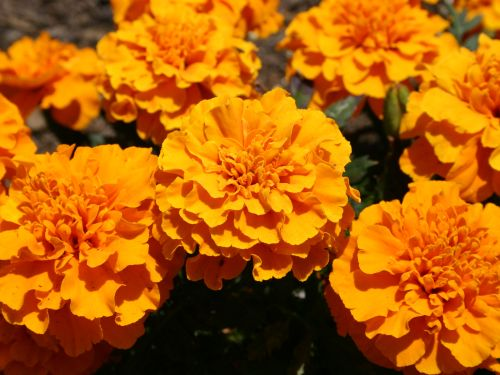 orange-marigolds