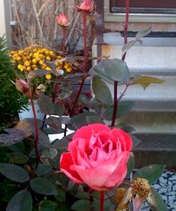 Yes - it is a rose in full bloom! And about 5 new buds that will more than likely not have enough warmth to open this year :-(. This rosebush is in the front my our house and has been there for about 12 years, coming back beatifully each year.y
