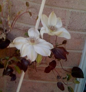 This is a shocker for me - white clematis blooming in November after we already had some frost! I am loving it becuase it is right next to my patio doors and I get to see it every day! Please pretty flower - stay awhile!