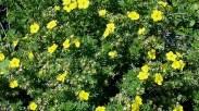 plantings_potentilla.jpg