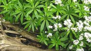 sweet_woodruff05-2_400.jpg