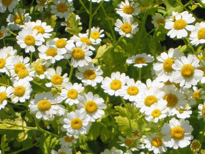 Feverfew Plant used for headaches