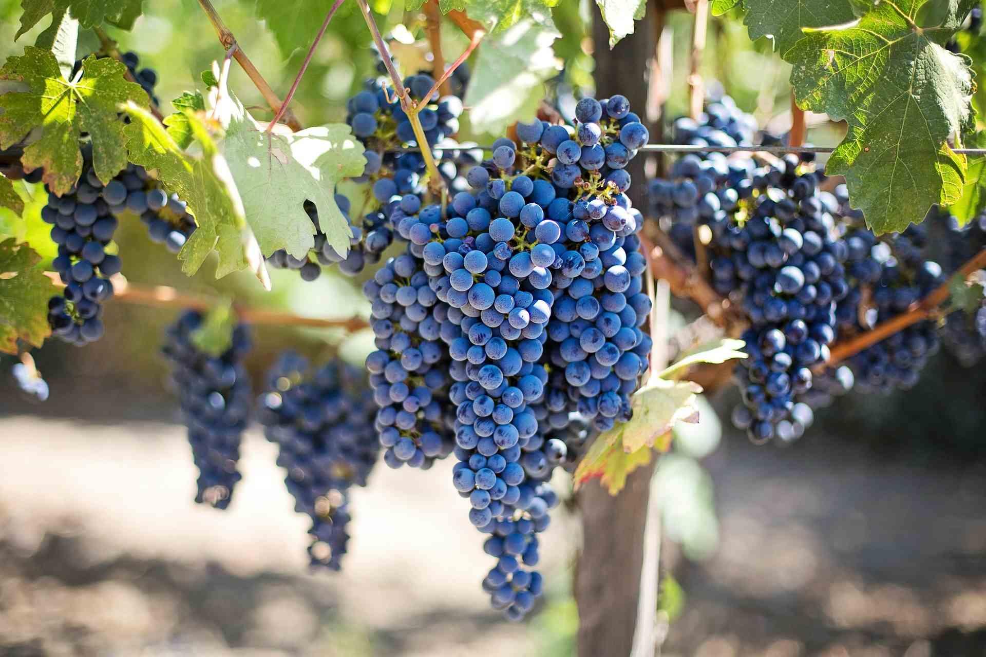 Vinificatie – maken van wijn