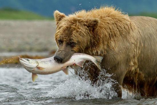 Escene of Disney Nature Film Bears - mamalatinatips.com