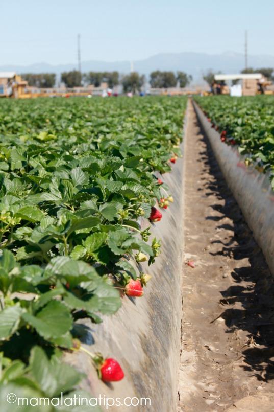 Strawberry farm - mamalatinatips.com