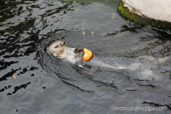 Otter at Monterey Aquarium - mamalatinatips.com