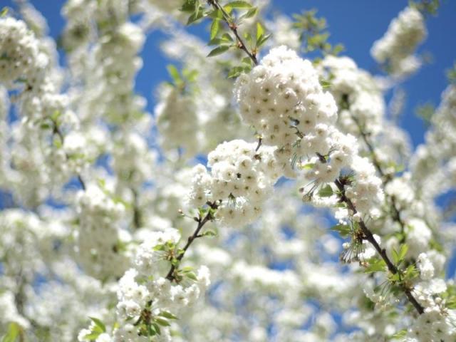 cerisier en fleur blanc