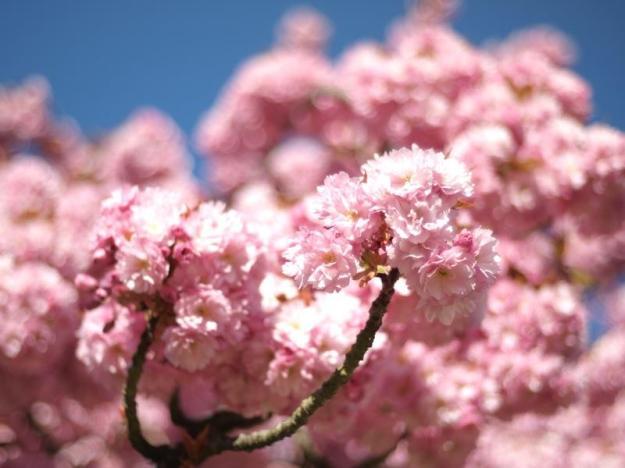 cerisier en fleur rose