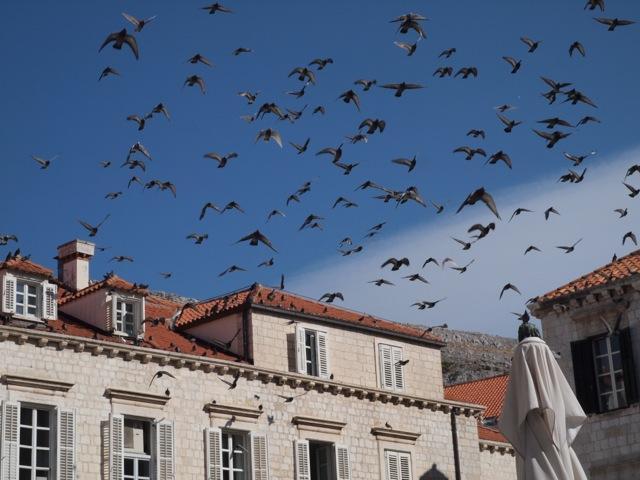 Dubrovnik pigeons