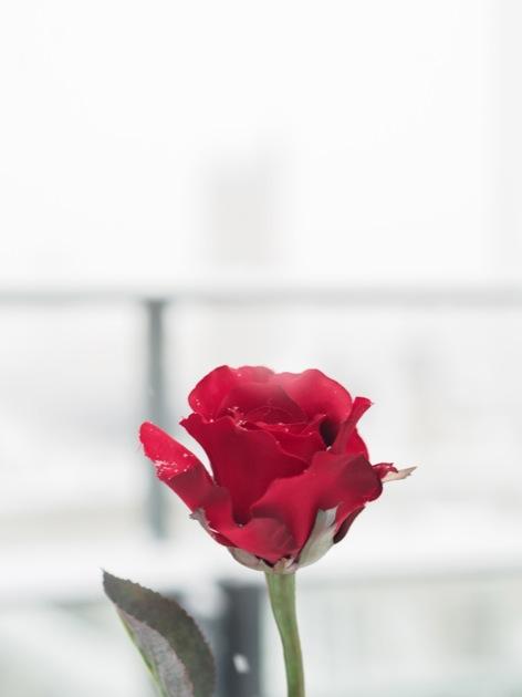 rose_neige