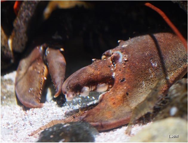 pince_crabe