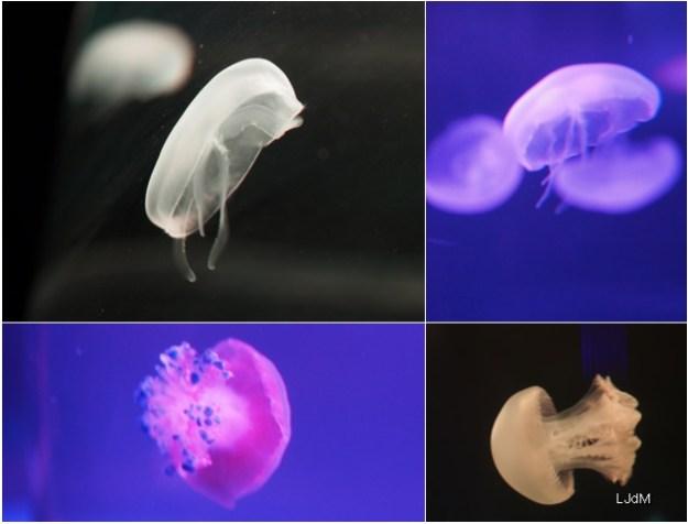 disco_meduses