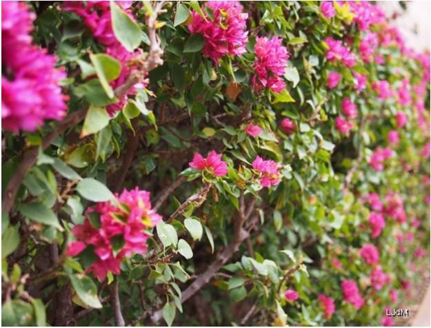 fleurs_roses