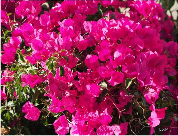 flowers_portugal