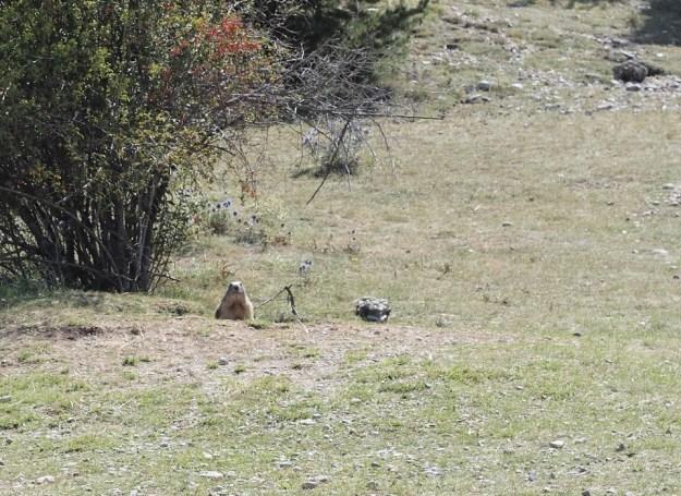Marmotte Montdauphin