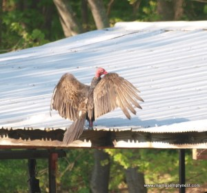 Turkey Vulture May 2013