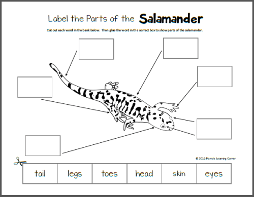 Life Cycle of a Salamander Printables