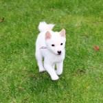 特販豆柴犬 p016