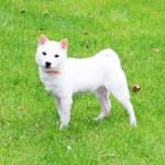 特販豆柴犬 p018