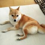 極小豆柴犬 カオリちゃん