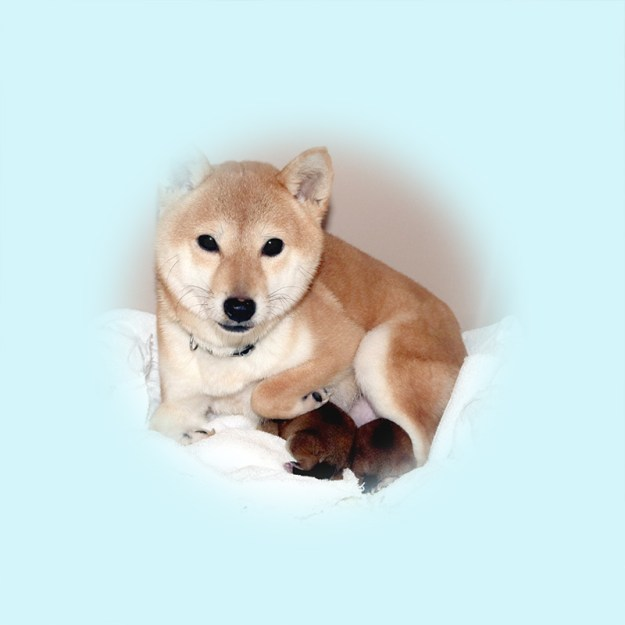 極小豆柴母犬 アマナツちゃん